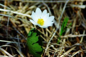 Bloodroot_Round Pond Wildflower Hunt 2 5